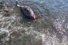 გონიოში ზღვამ მკვდარი დელფინი გამორიყა
