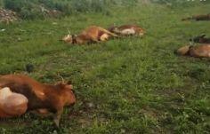 მარნეულში ფერმერს 150-მდე ძროხა დაეხოცა