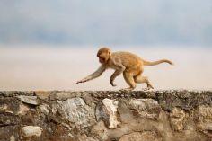 მეცნიერებმა შექმნეს მაიმუნი რომელიც ადამიანის გენს შიცავს