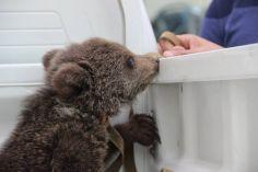 საბურთალოს რაიონში დათვს ისევ ეძებენ